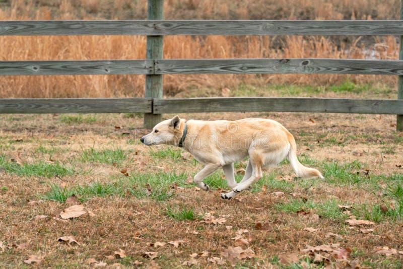 Perro mezclado del rancho de la raza que corre a lo largo de la cerca Oklahoma del pasto foto de archivo