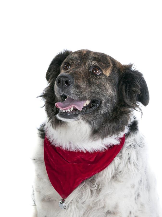 Perro mezclado feliz de la raza en aislante del pañuelo de la bufanda de la Navidad del día de fiesta fotos de archivo