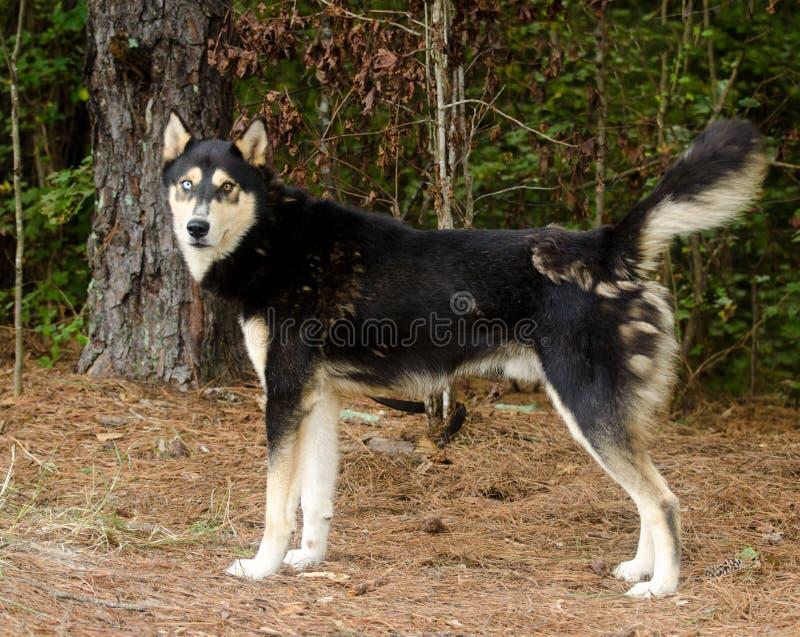 Perro mezclado Husky German Shepherd de la raza del siberiano fotos de archivo
