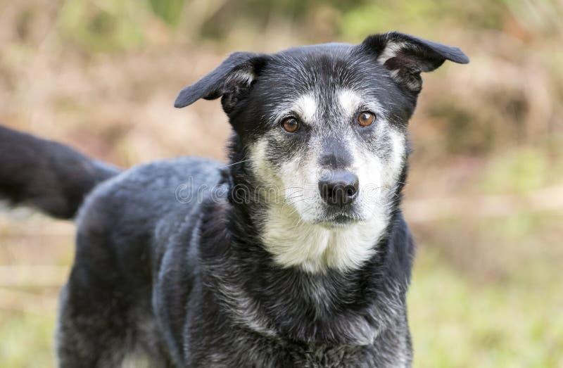Perro mezclado Husky Retriever mayor de la raza fotografía de archivo