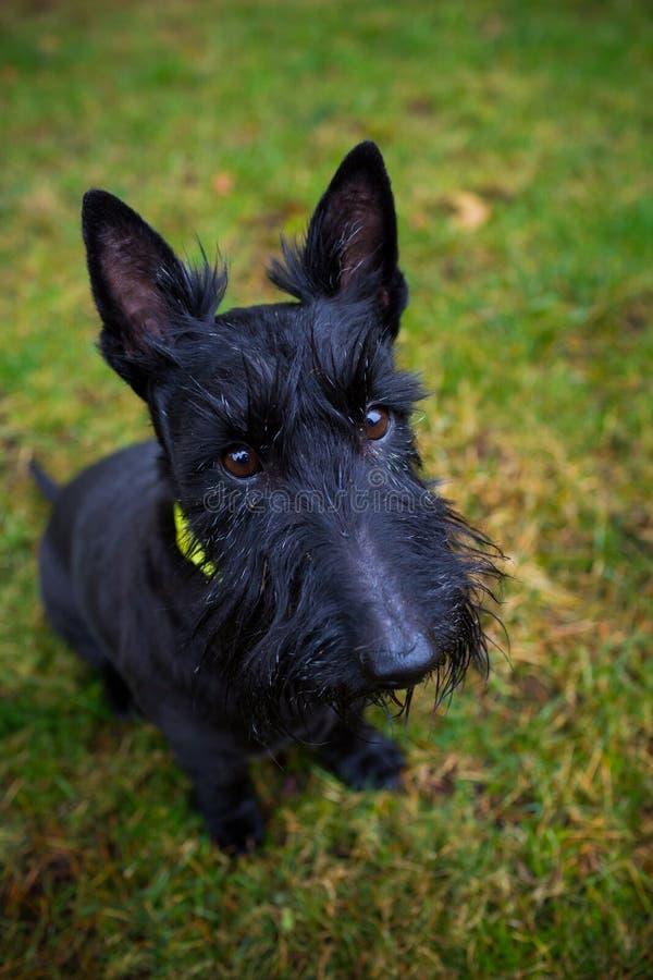 Perro mezclado negro de Terrier al aire libre imagen de archivo libre de regalías