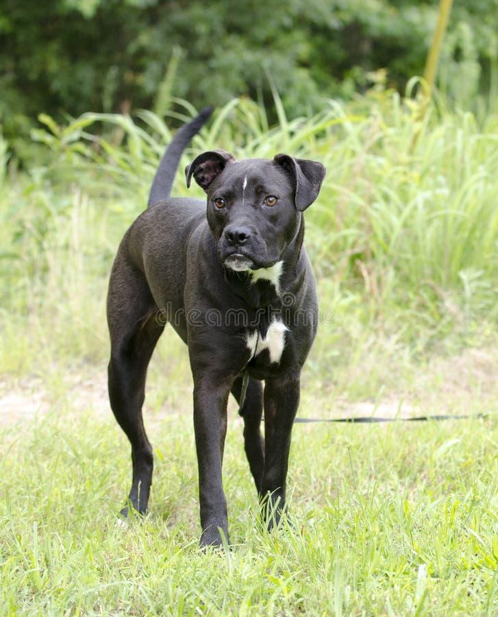 Perro mezclado Pitbull de la raza del boxeador con el underbite fotos de archivo libres de regalías