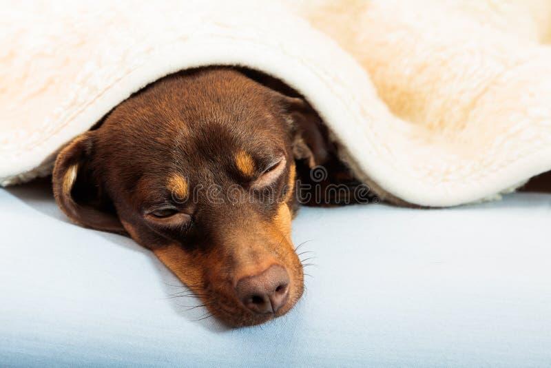 Perro mezclado que duerme en cama en casa foto de archivo libre de regalías