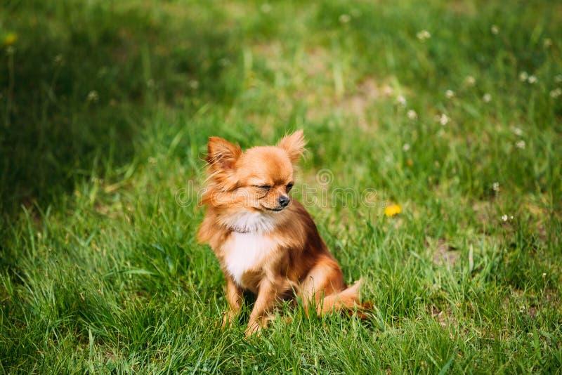 Perro minúsculo rojo marrón y blanco joven divertido hermoso Si de la chihuahua foto de archivo
