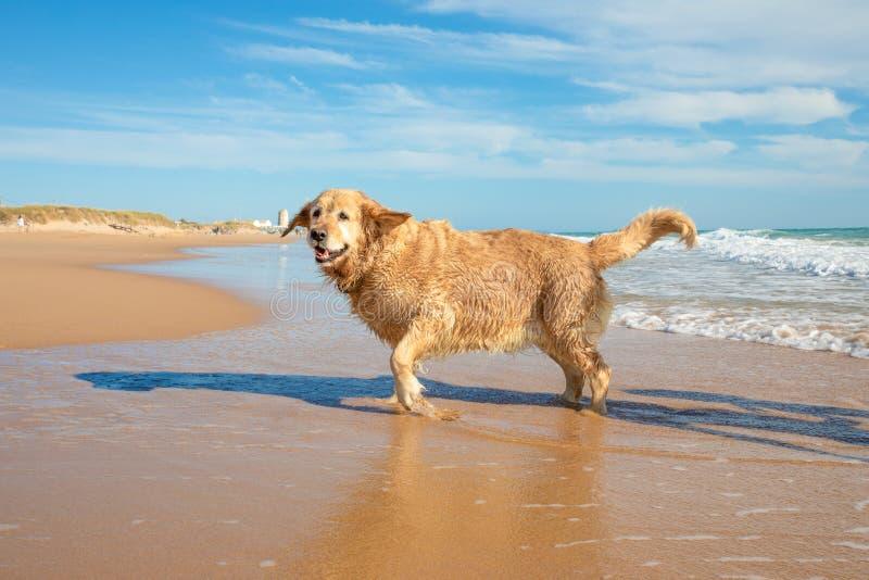 Perro mojado del golden retriever en la playa que corre en la costa foto de archivo