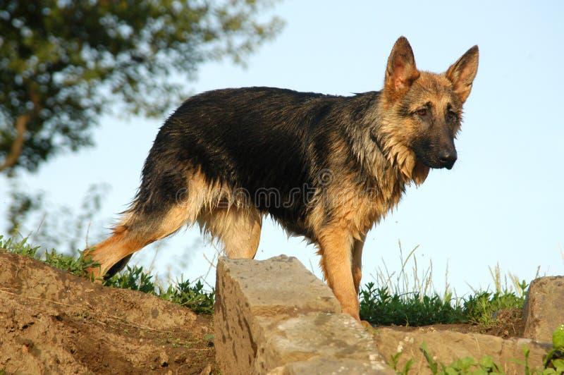 Perro mojado del lobo imagen de archivo libre de regalías
