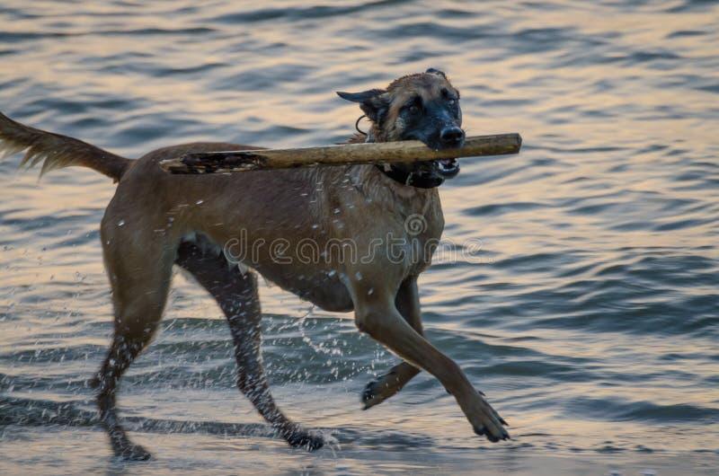 Perro mojado que corre en el mar en la playa con el palillo en su boca durante la tarde imágenes de archivo libres de regalías