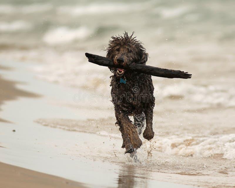 Perro mojado que se ejecuta con el palillo en la playa fotografía de archivo