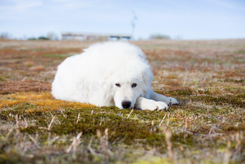 perro mullido blanco del ig que miente en musgo y que mira a la cámara en el campo en un día soleado imagen de archivo