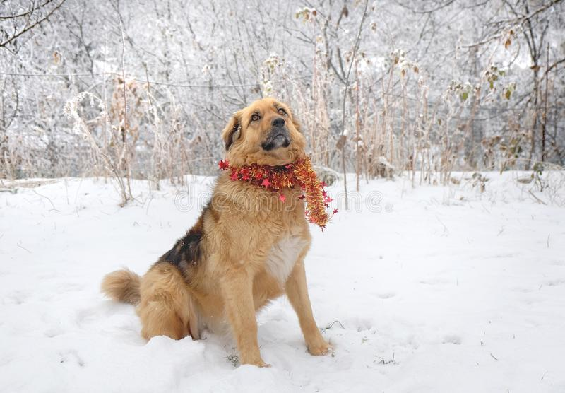 Perro mullido muy lindo en la guirnalda que lleva de la nieve, año de la Navidad del perro fotos de archivo libres de regalías