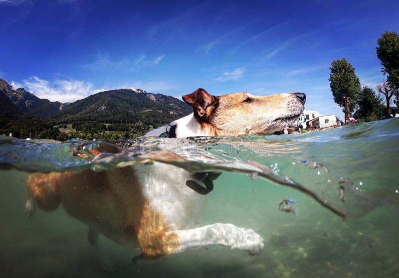 Perro nadador fotografía de archivo