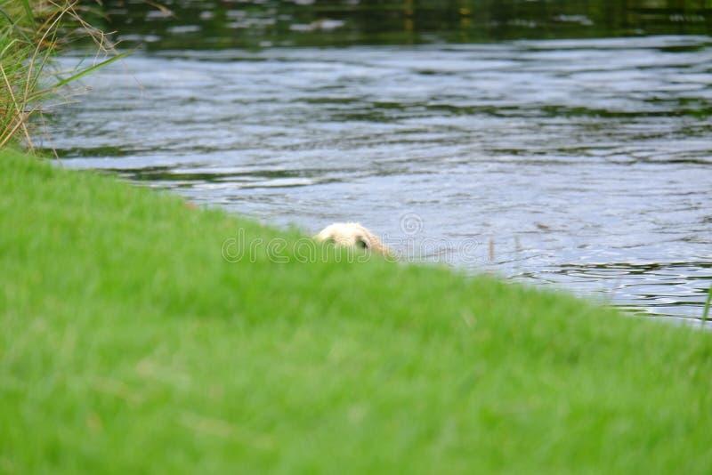 Perro nadador que mira furtivamente sobre el borde fotos de archivo libres de regalías