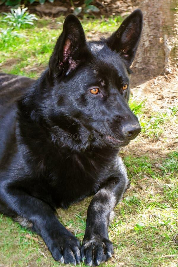 Perro negro fotografía de archivo libre de regalías