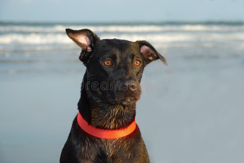Perro negro con el oído amartillado imagen de archivo libre de regalías