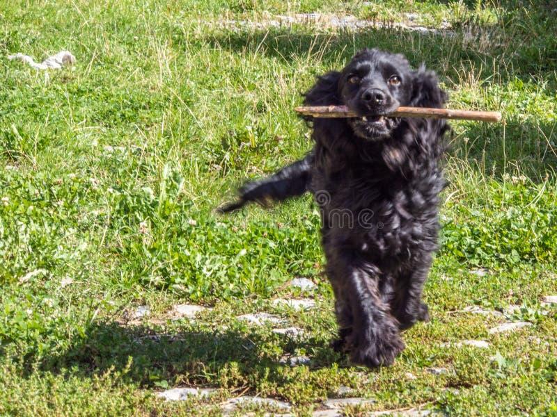 Perro negro con el palillo imagen de archivo