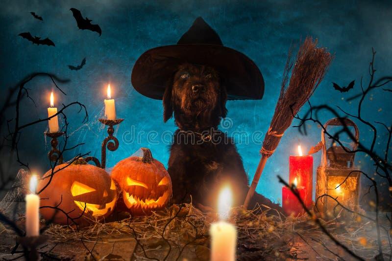 Perro negro con las calabazas de Halloween en tablones de madera fotografía de archivo