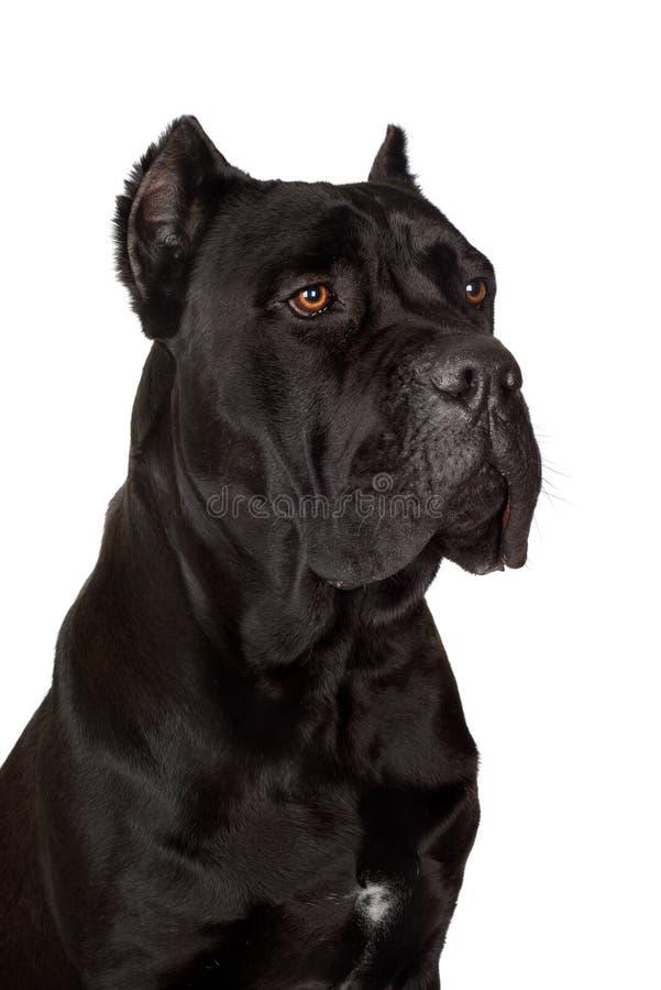 Perro negro de Corso del bastón foto de archivo libre de regalías