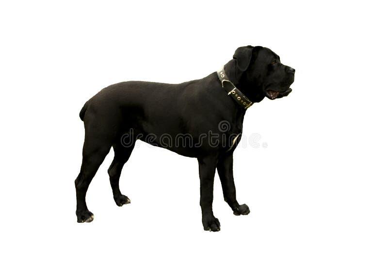 Perro negro de Corso del bastón fotos de archivo