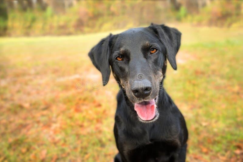 Perro negro de la mezcla del laboratorio foto de archivo libre de regalías