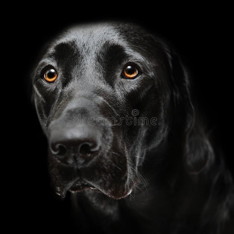 Perro negro de Labrador fotos de archivo libres de regalías