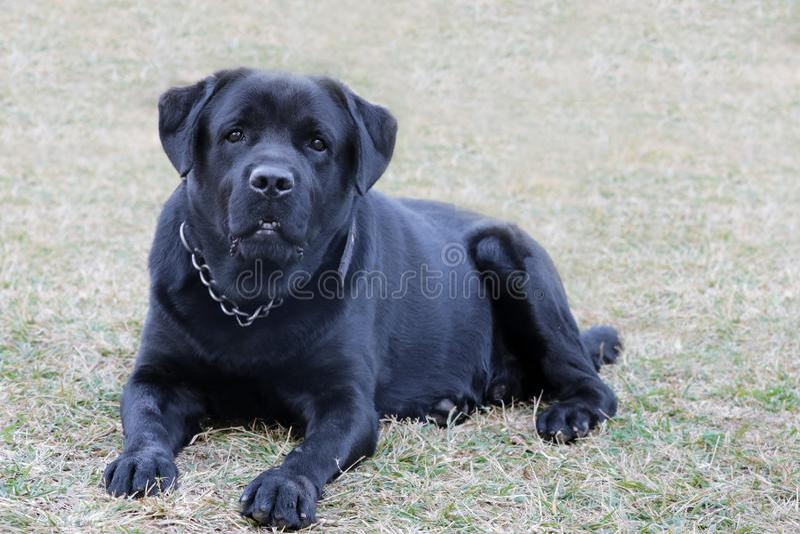 Perro negro de Labrador que mira agresivamente fotos de archivo libres de regalías