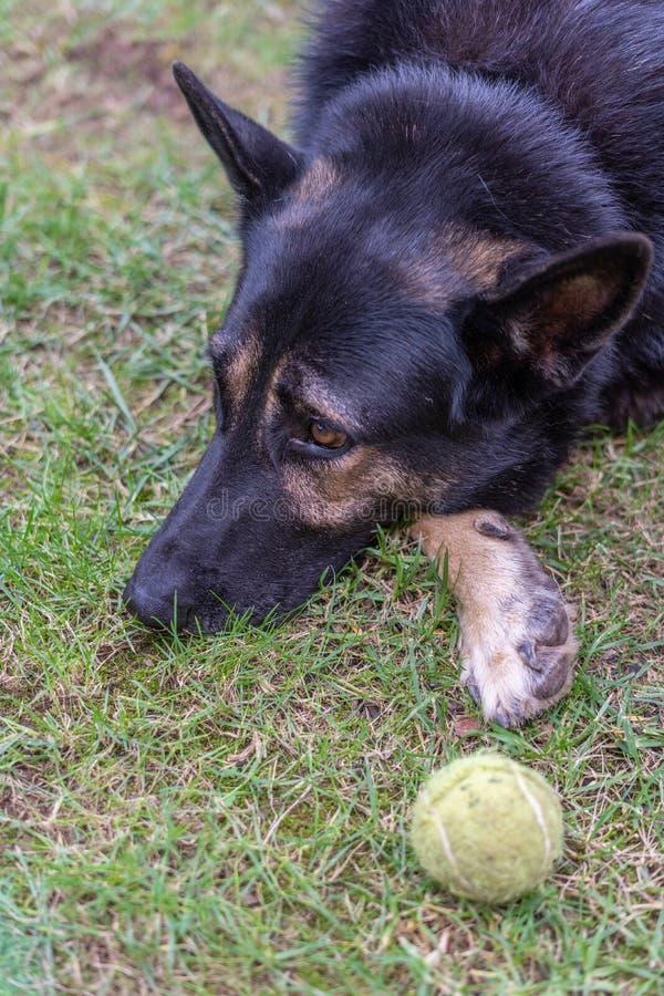 Perro negro grande que descansa al lado de su bola imagenes de archivo
