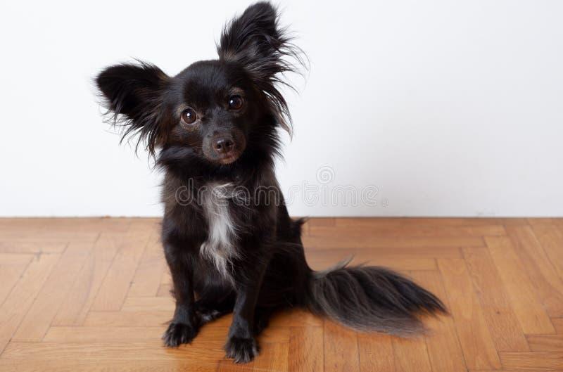 Perro negro pequeño en el suelo de madera imagenes de archivo