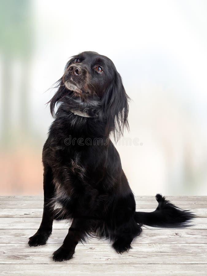 Perro negro que espera walkies en fondo pálido El sentarse y atento foto de archivo libre de regalías