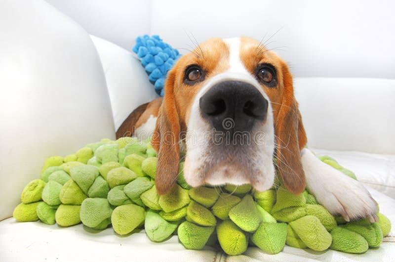 Perro Nosy del beagle fotos de archivo libres de regalías