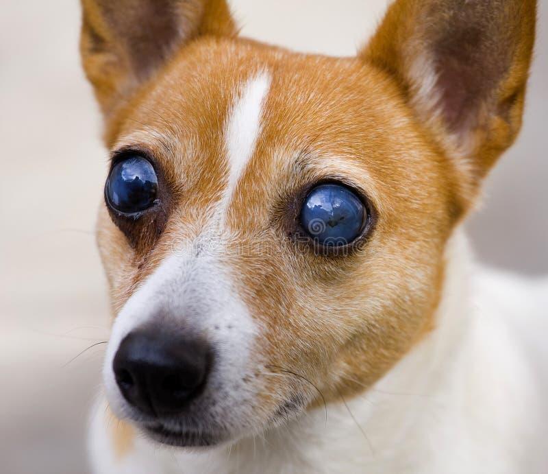 Perro oculto del terrier de russell del gato imágenes de archivo libres de regalías