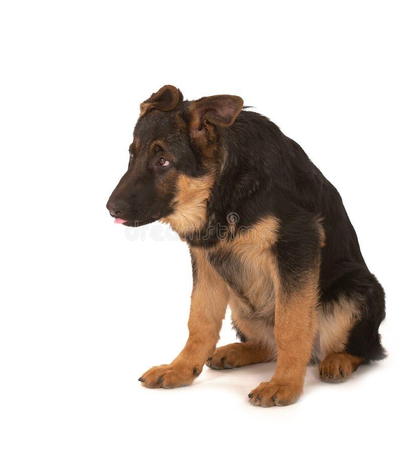 Perro pastor foto de archivo