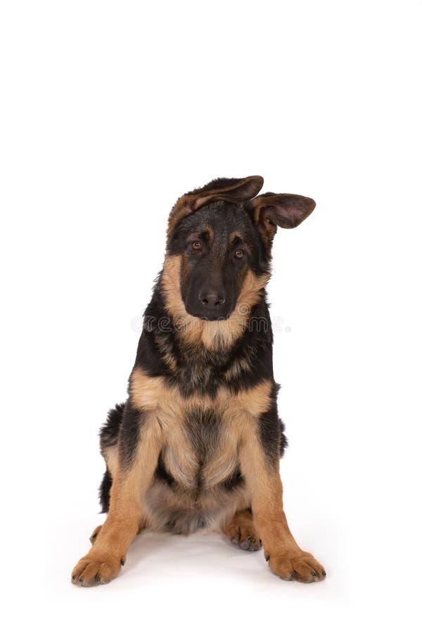 Perro pastor fotos de archivo