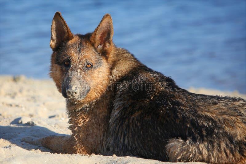 Perro pastor alemán fotos de archivo libres de regalías