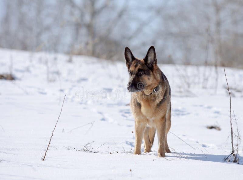 Perro, pastor alemán en una cuesta nevada fotos de archivo
