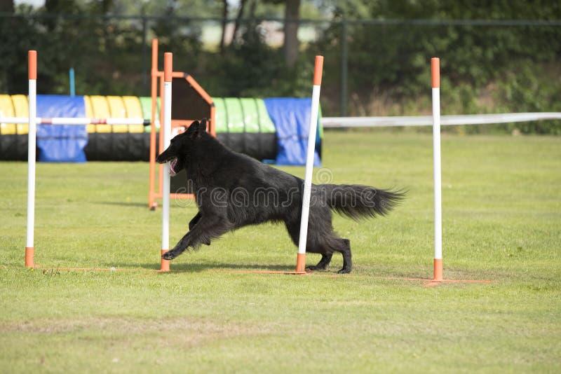 Perro, pastor belga Groenendael, agilidad de los polos de la armadura foto de archivo
