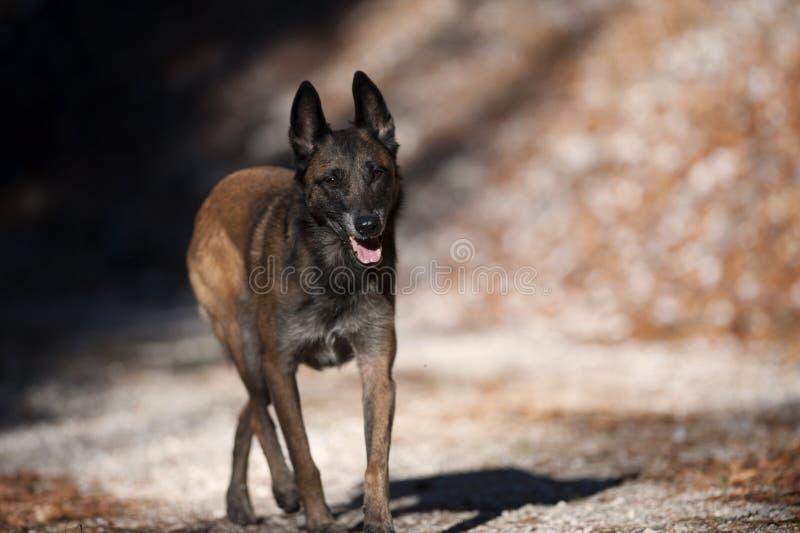 Perro pastor belga que camina atento fotografía de archivo