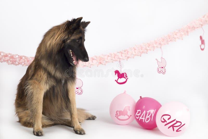 Perro, pastor belga Tervuren, sentándose con los globos y las guirnaldas rosados del bebé imágenes de archivo libres de regalías