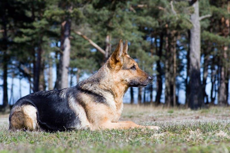 Perro pastor de Alemania foto de archivo libre de regalías