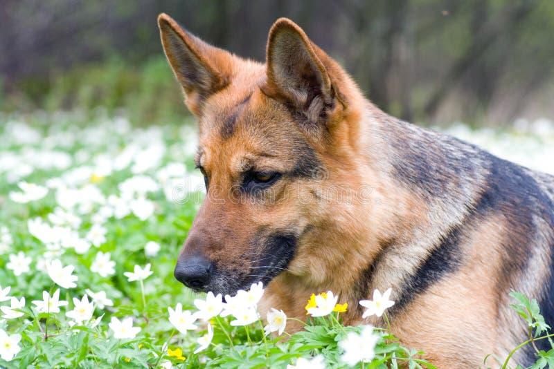 Perro pastor de Alemania imagen de archivo libre de regalías