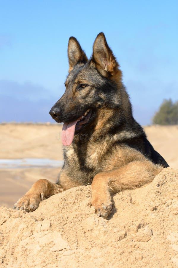 Perro pastor de Alemania imagen de archivo