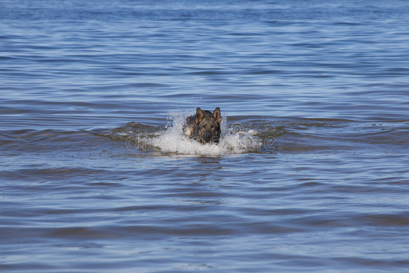 Perro pastor de Alemania de la natación foto de archivo libre de regalías