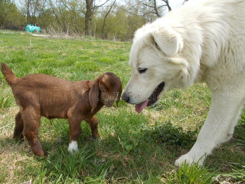 Perro pastor de Maremma con la cabra del bebé foto de archivo libre de regalías