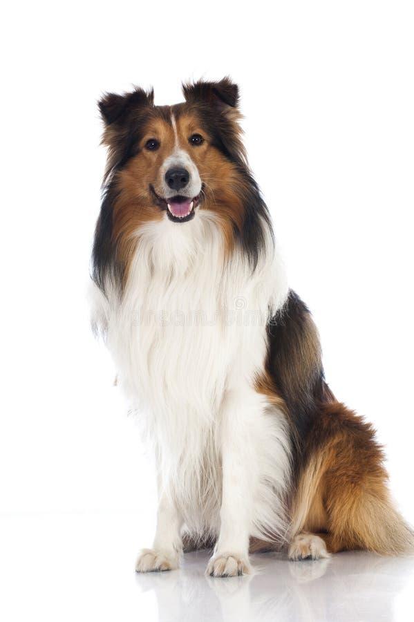 Perro pastor de Shetland imagen de archivo libre de regalías