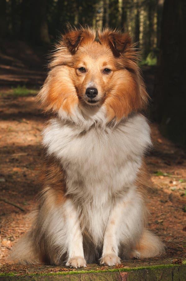 Perro pastor de Shetland fotografía de archivo