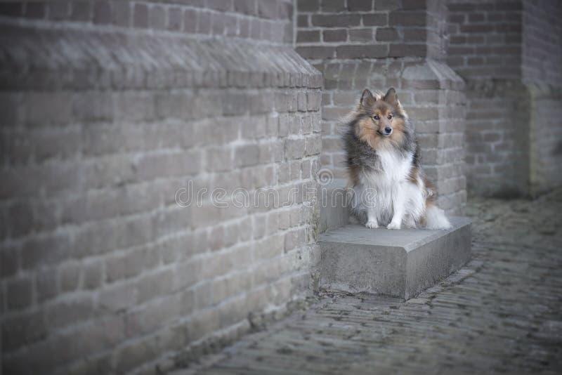 Perro pastor de Shetland delante de una pared de ladrillo de una iglesia vieja, fotos de archivo libres de regalías