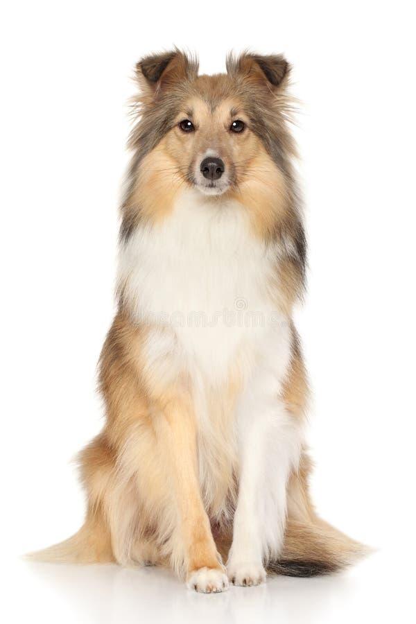 Perro pastor de Shetland en el fondo blanco imagen de archivo