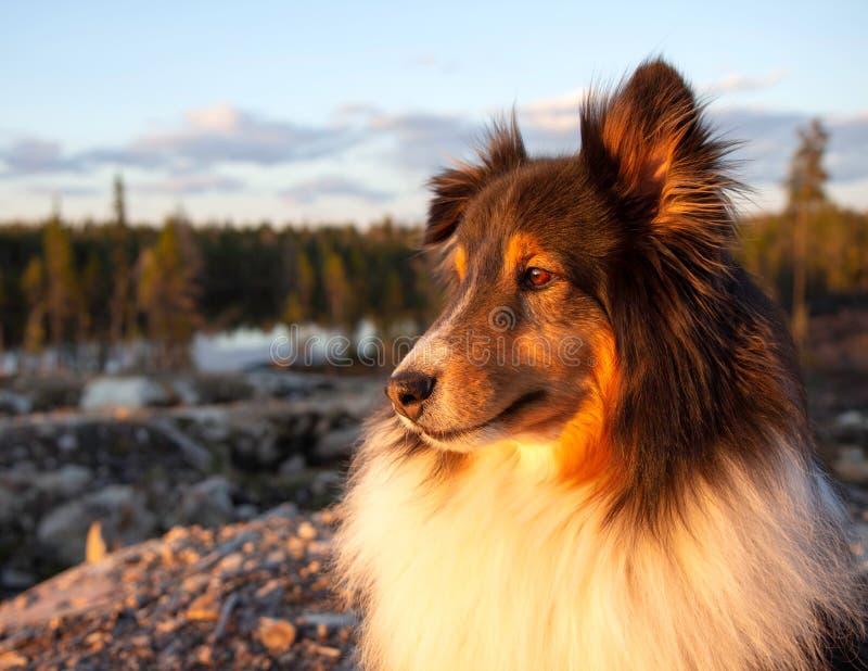 Perro pastor de Shetland en verano en la puesta del sol fotografía de archivo