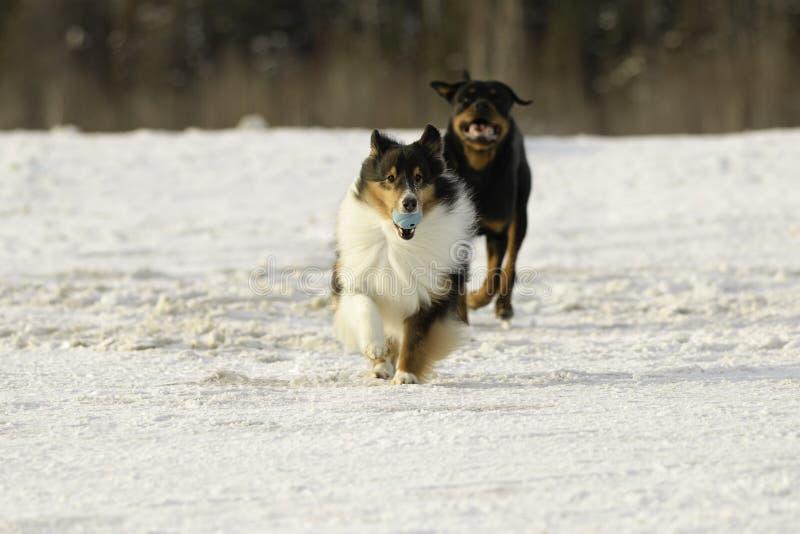 Perro pastor de Shetland y Rottweiler que juegan búsqueda en la nieve en invierno fotos de archivo