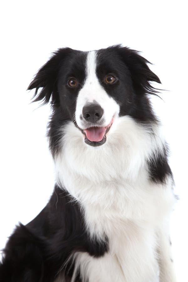Perro pastor feliz fotografía de archivo