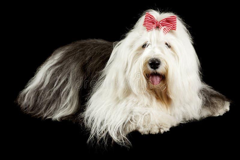 Perro pastor inglés viejo foto de archivo